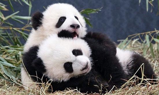panda,binatang,lucu