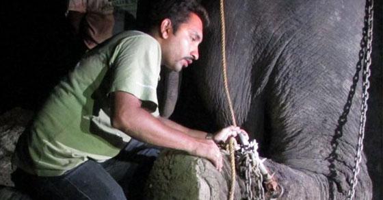 gajah,raju,dipasung,india