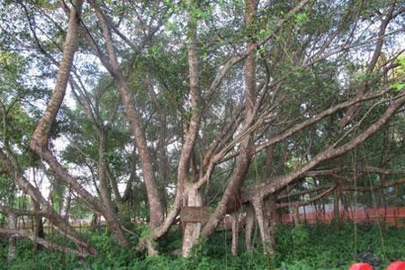pohon cinta,pulau kemaro,palembang,wisata,piknik