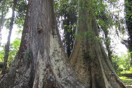 pohon jodoh,bogor,kebun raya bogor