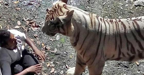 serangan hewan,harimau,hewan buas,hewan ganas