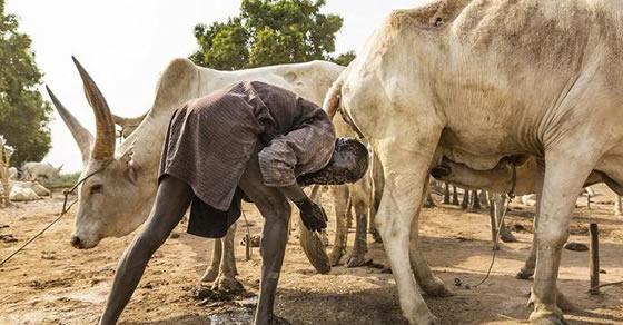 suku terpencil,budaya,afrika,sapi
