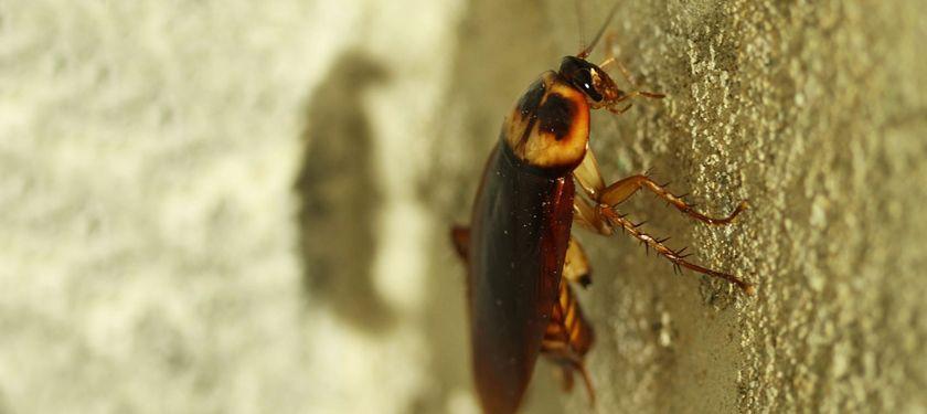 Kecoa dapat tetap hidup meski tak berkepala